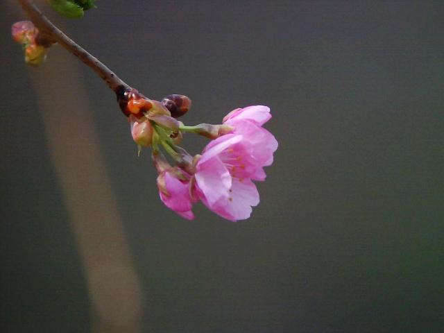 河津桜:クリックして大きな画像でご覧下さい